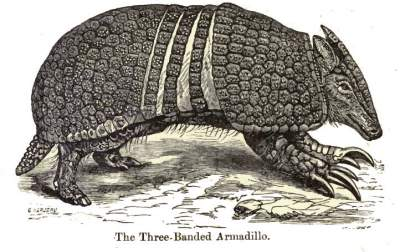 Public domain drawing of an armadillo